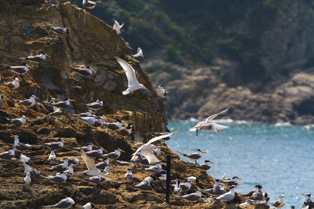 Observación ecológica de las golondrinas de mar en Matsu