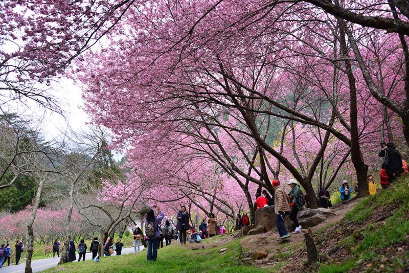 妙高台櫻花賞花區、櫻花隧道遊客搶拍  年度:2019  來源:武陵農場