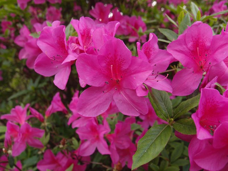 陽明公園平戶杜鵑盛開  年度:2018  來源:花卉試驗中心