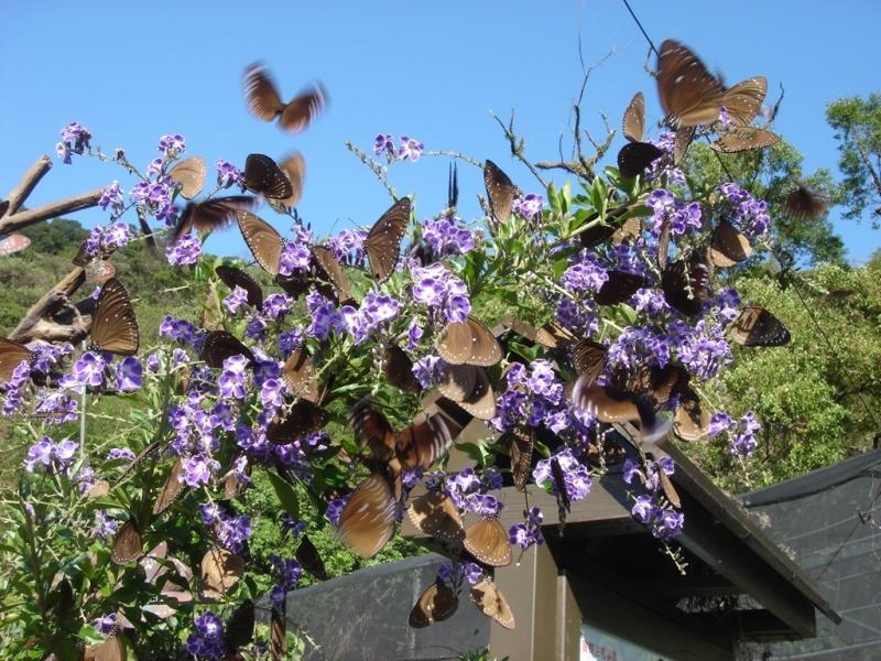 Maolin Purple Butterfly
