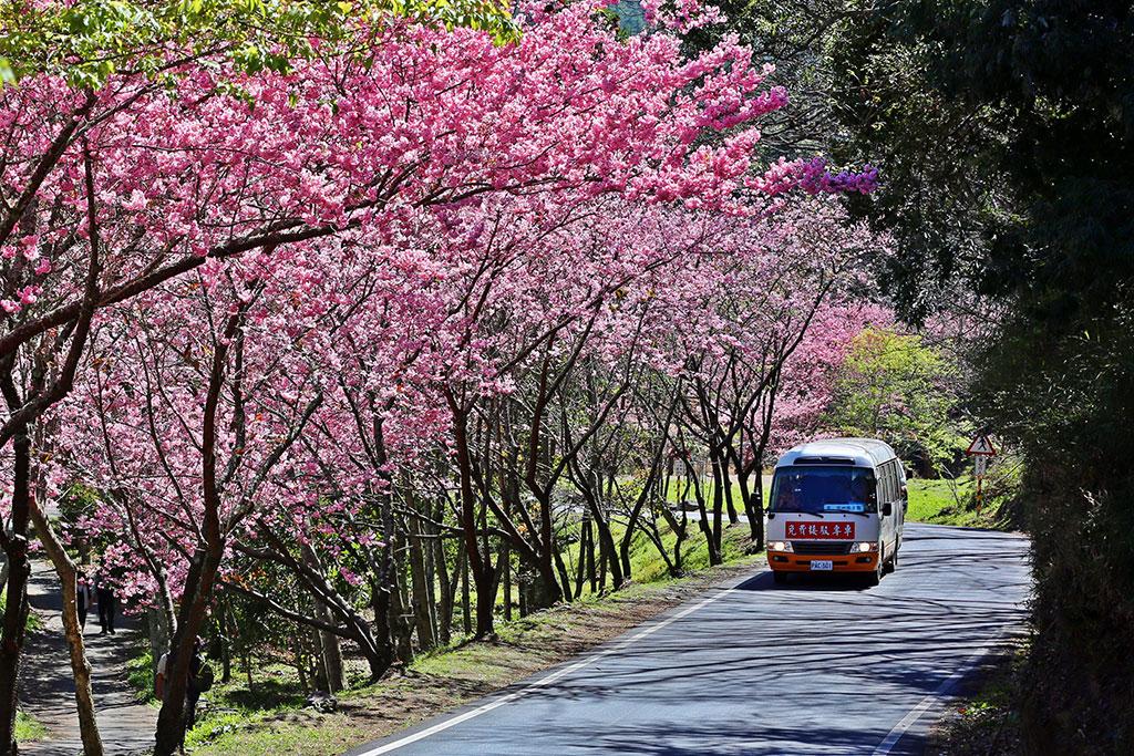 櫻花紅渲染武陵大地、遊園巴士穿梭其中  年度:2019  來源:武陵農場