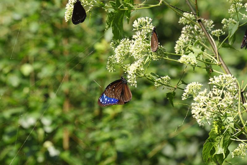 Mikania micrantha and Striped Blue Crow