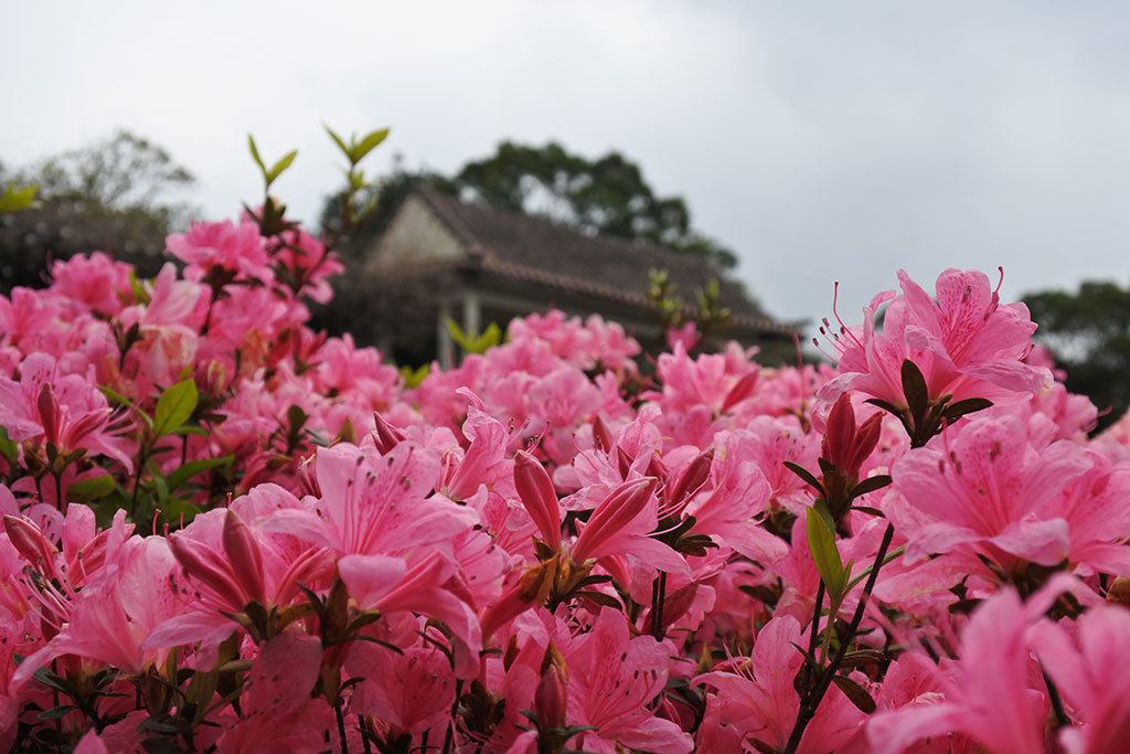 陽明公園第二停車場杜鵑茶花園杜鵑盛開  年度:2018  來源:花卉試驗中心