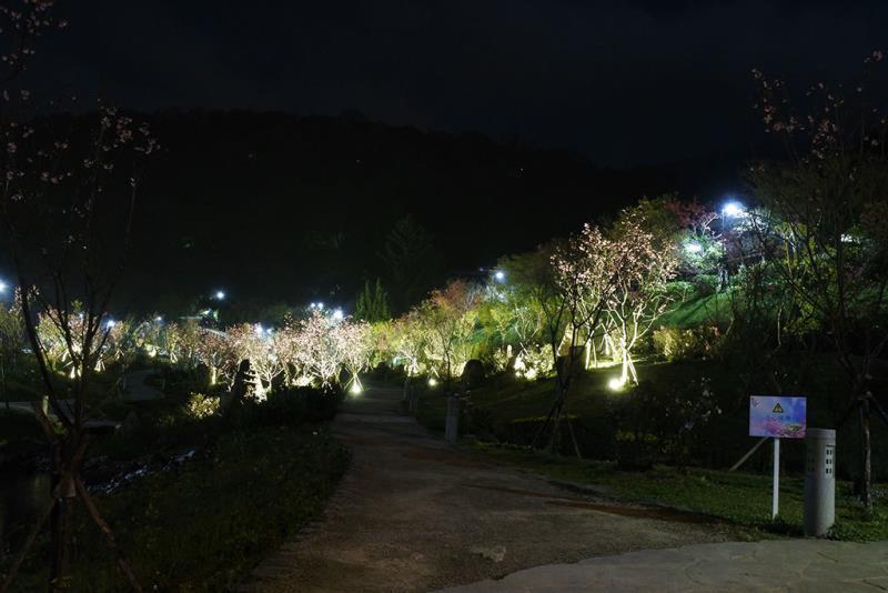 陽明公園櫻花溪流區夜櫻  年度:2018  來源:花卉試驗中心