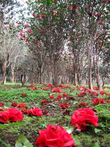 花卉試驗中心茶花隧道  年度:2018  來源:花卉試驗中心