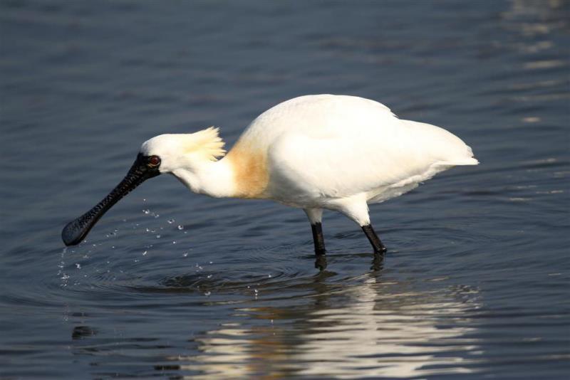 黑面琵鷺  年度:2012  作者:張國樑  來源:台江國家公園管理處