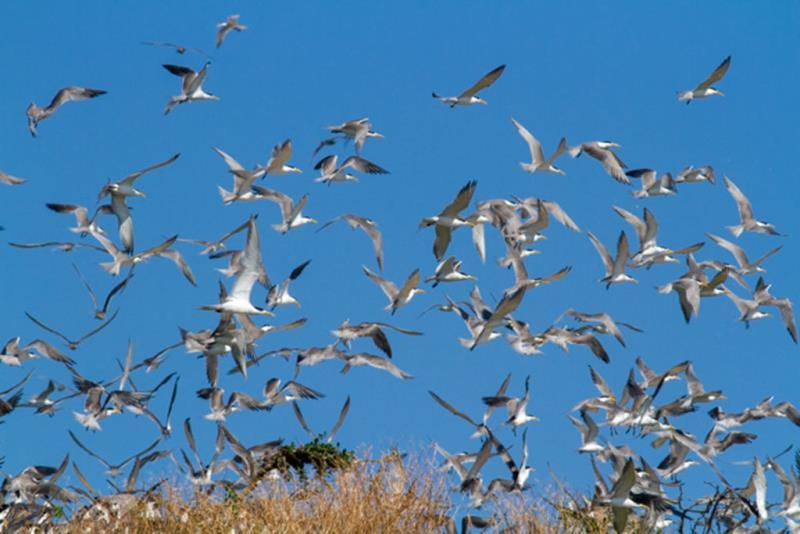 鳳頭燕鷗群飛  年度:2018  來源:馬祖國家風景區管理處