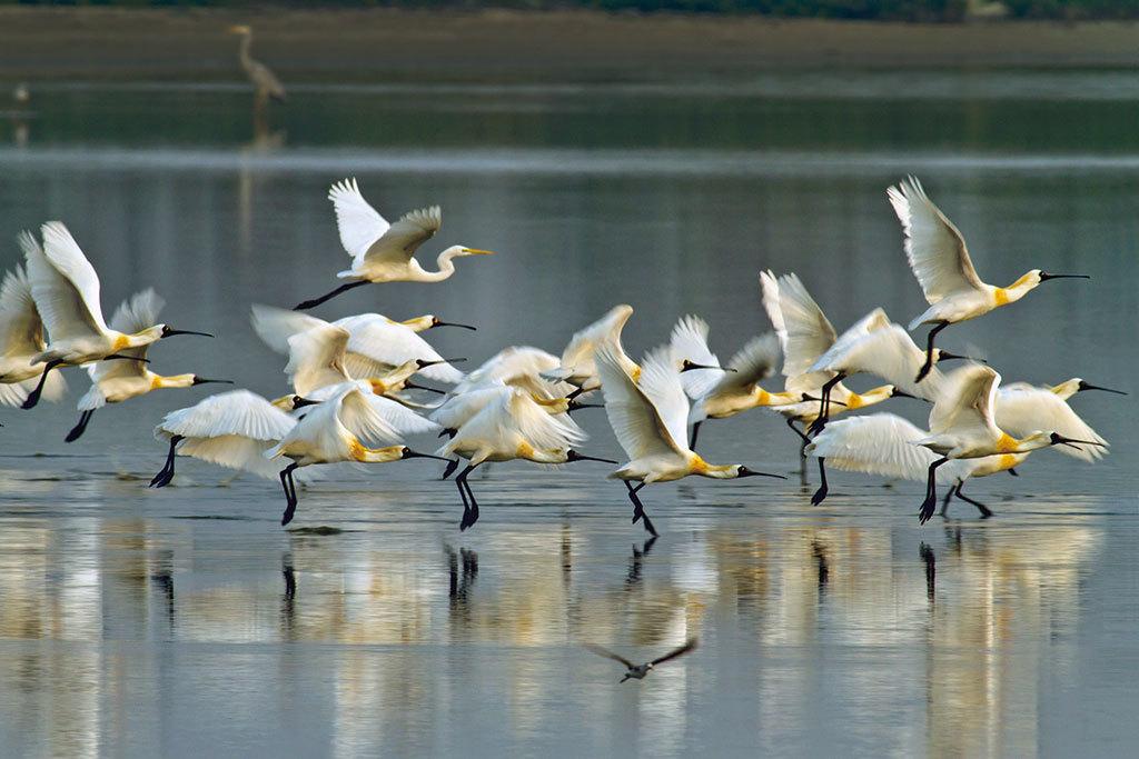 黑面琵鷺齊飛  年度:2013  作者:王徵吉  來源:台江國家公園管理處