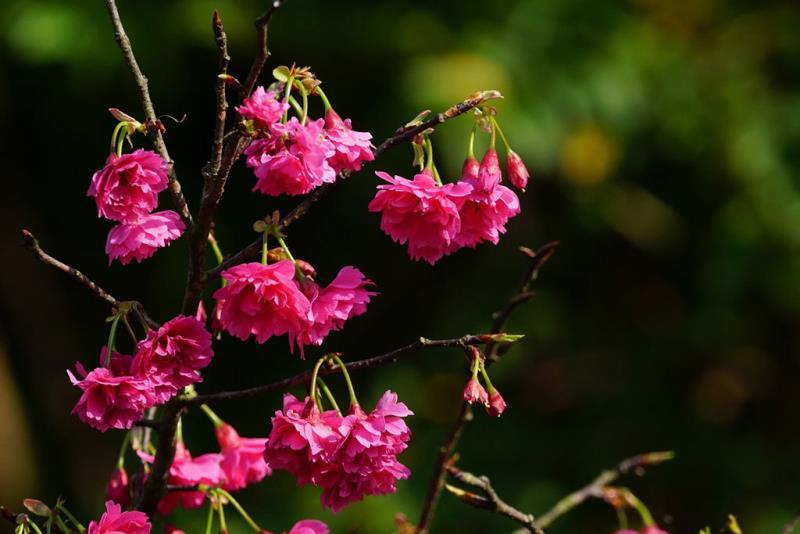 陽明公園蔣公銅像區八重櫻  年度:2018  來源:花卉試驗中心