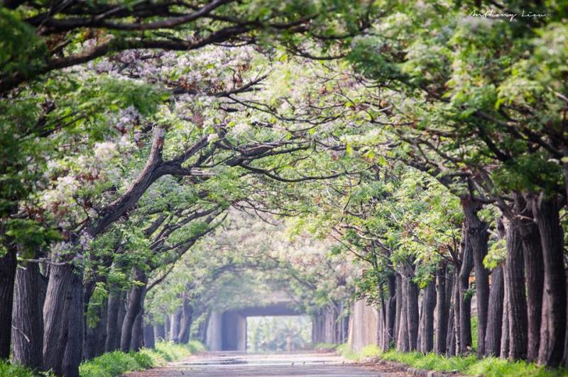 季節限定 又美又香的嘉義「苦楝樹綠色隧道」