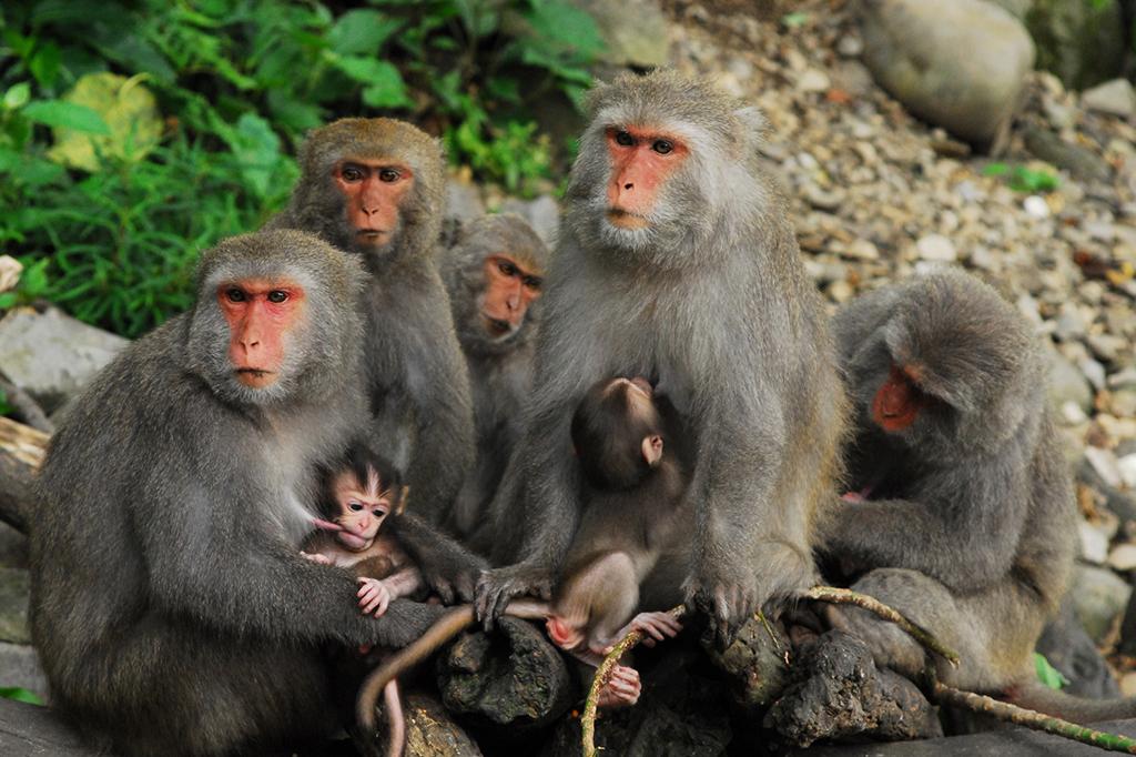 Macaco formosano