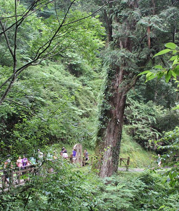 達觀山神木
