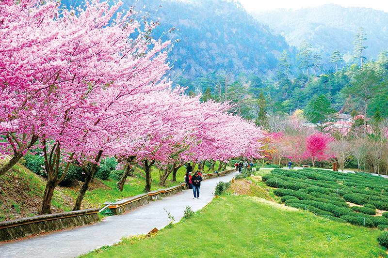 Observación de los cerezos en flor en la granja Wuling