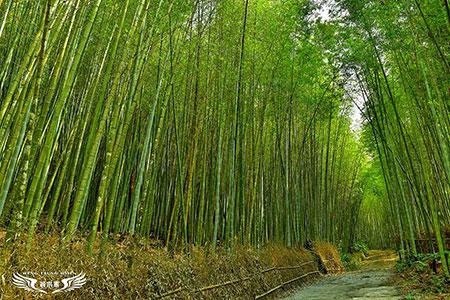 台版嵐山竹林小徑 嘉義瑞里綠色隧道