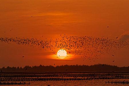 候鳥季節限定 黑腹燕鷗北門過冬