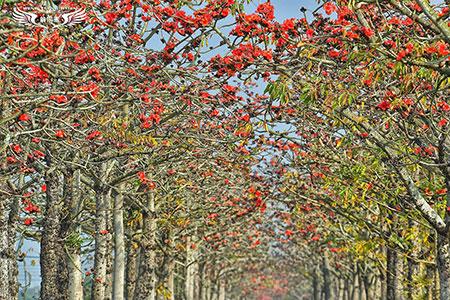 世界最美花道之一 白河木棉花火紅綻放