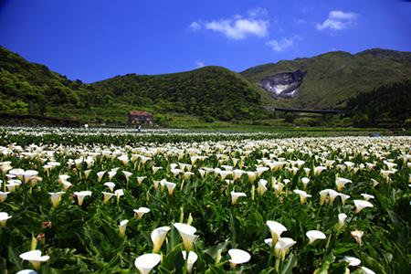 季節限定美景-竹子湖海芋季/繡球花季 花海美景不要錯過